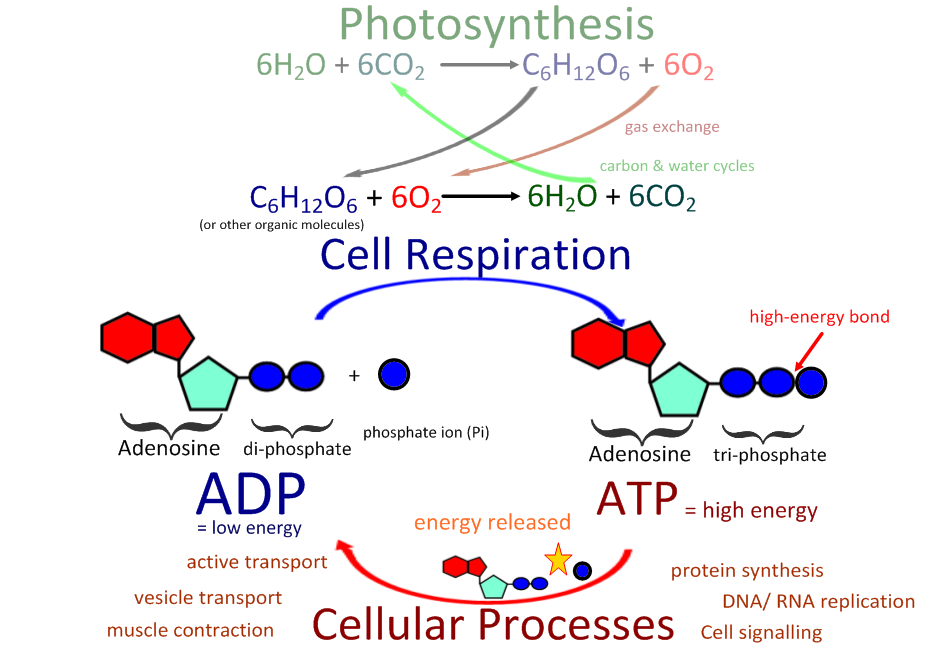 compare and contrast respiration and photosynthesis