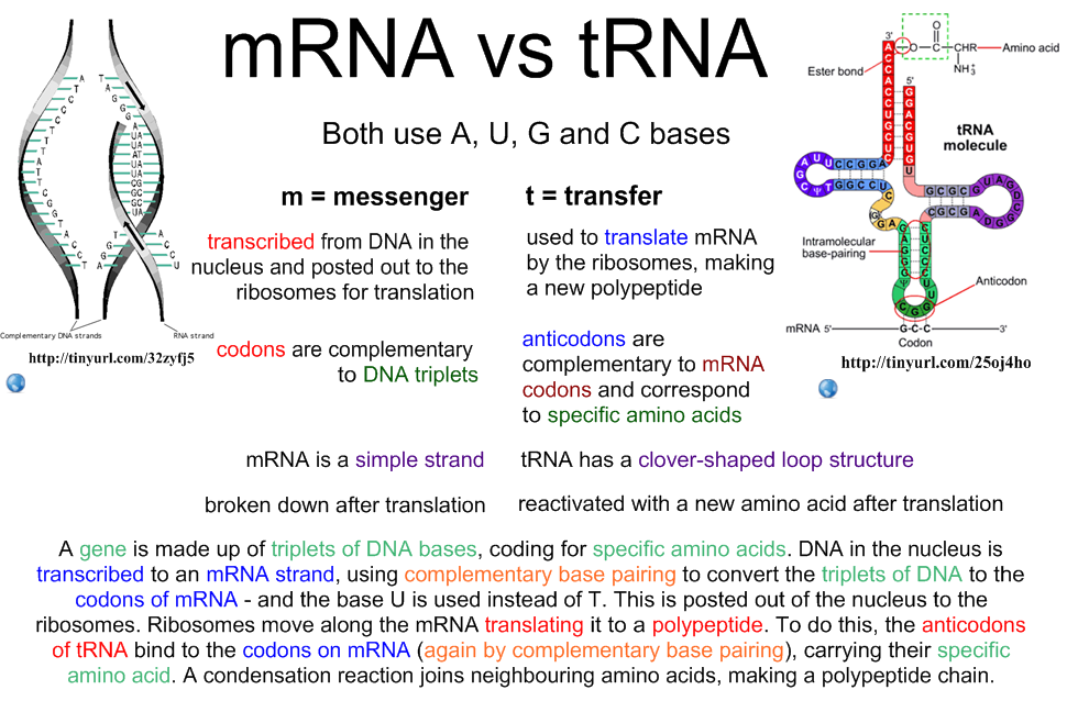 7.3 u0026 7.4 Transcription u0026 Translation : i-Biology